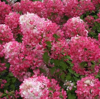 Latasta hortenzija